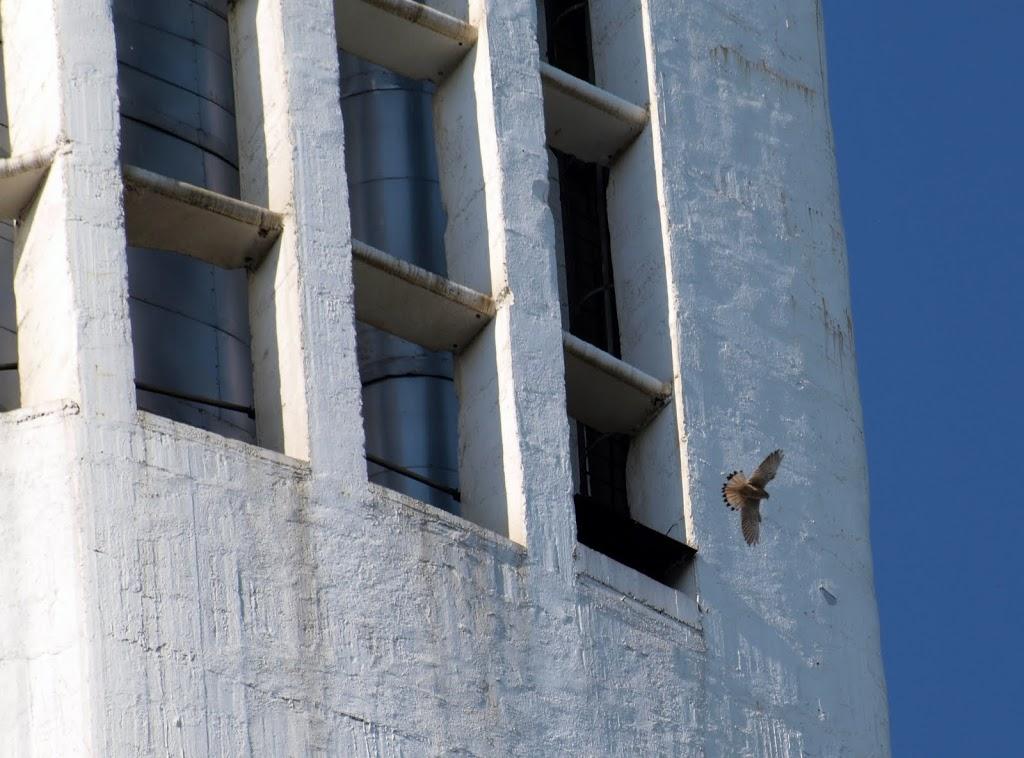 <p>Un faucon crécelle s'envole de son perchoir</p>